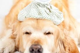 guía para cuidar a un perro con fiebre