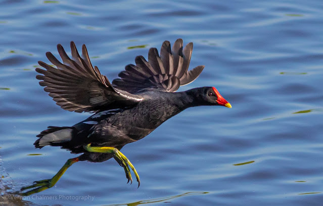 Common Moorhen Sprinting Diep River Woodbridge Island Vernon Chalmers Photography