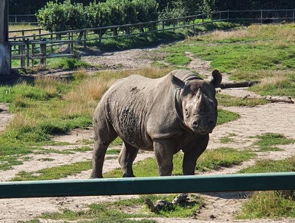 Rhinos from Howletts Wildlife Park