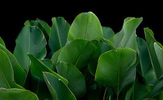 tanaman pisang hias Calathea Lutea