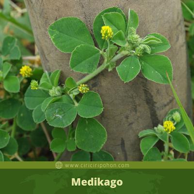 Medikago