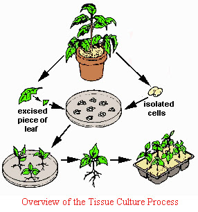 What are the Methods of Plant Cell, Tissue and Organ Culture?