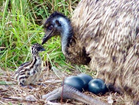 Emú Ave