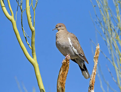 Photo of a White-winged Dove perched in a tree
