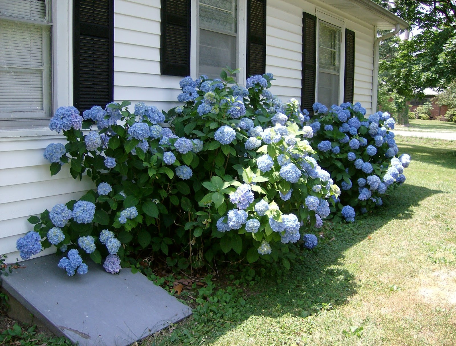 Flowering Shrubs Add End Of Season Flower Hydrangeas And Hibiscus