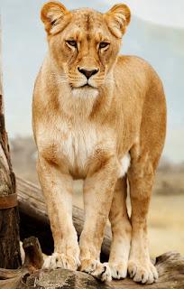 Gambar Singa Betina