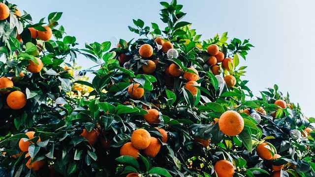 Orange malta fruit crop Guidelines for Ambia bahar 7