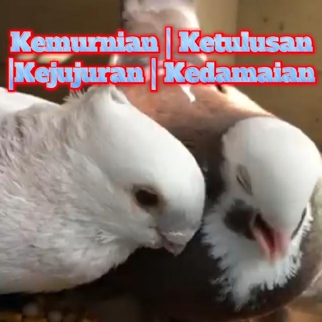 cara menjinakkan, cara melatih burung merpati
