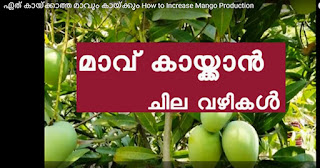 how to increase mango product fast