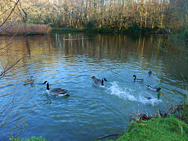 Pinetum Gardens Lake: Ducks, geese on the lake.