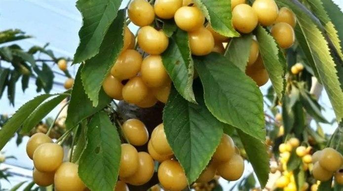 sarı kiraz meyvesinin içi dışı sarı renktedir