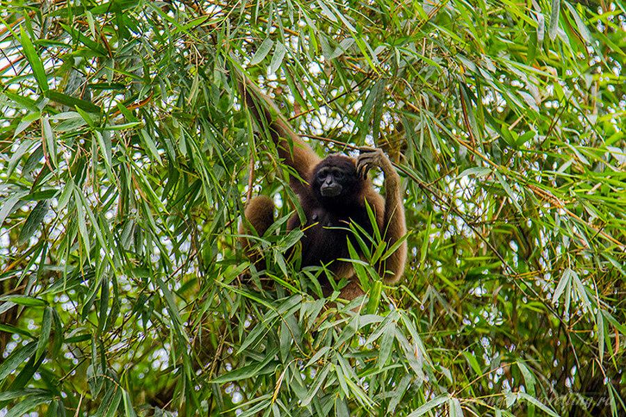 Гибон на дереве
