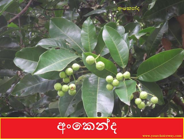 අංකෙන්ද [Ankenda] (Acronychia Pedunculata) - Your Choice Way