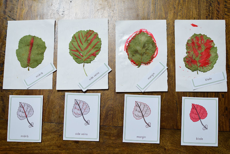 PARTS OF A LEAF Study for Kids: HANDS-ON IDENTIFICATION