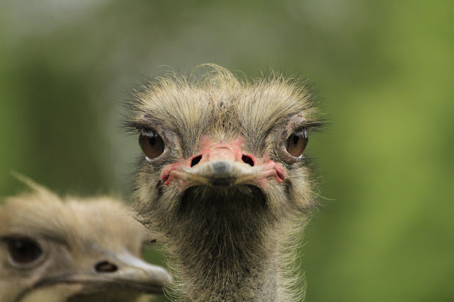 el origen y evolución de las aves modernas - avetruz