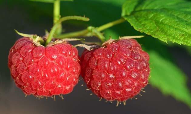 Framboesa (Rubus idaeus)