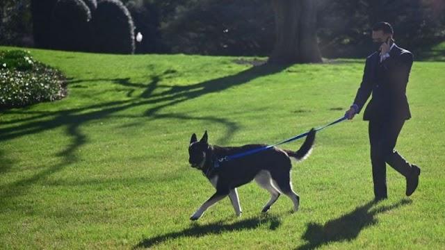 Biden's dog Major bites again at White House