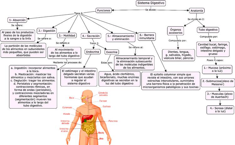 Mapa conceptual del sistema digestivo, partes y funciones