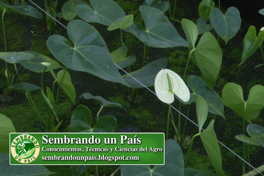 anthurium flor blanca