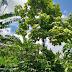 Bomen op koffievelden beschermen koffieplanten tegen klimaatverandering