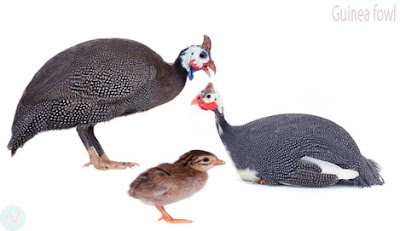 Guinea fowl, চিনা মোরগ বা মুরগি