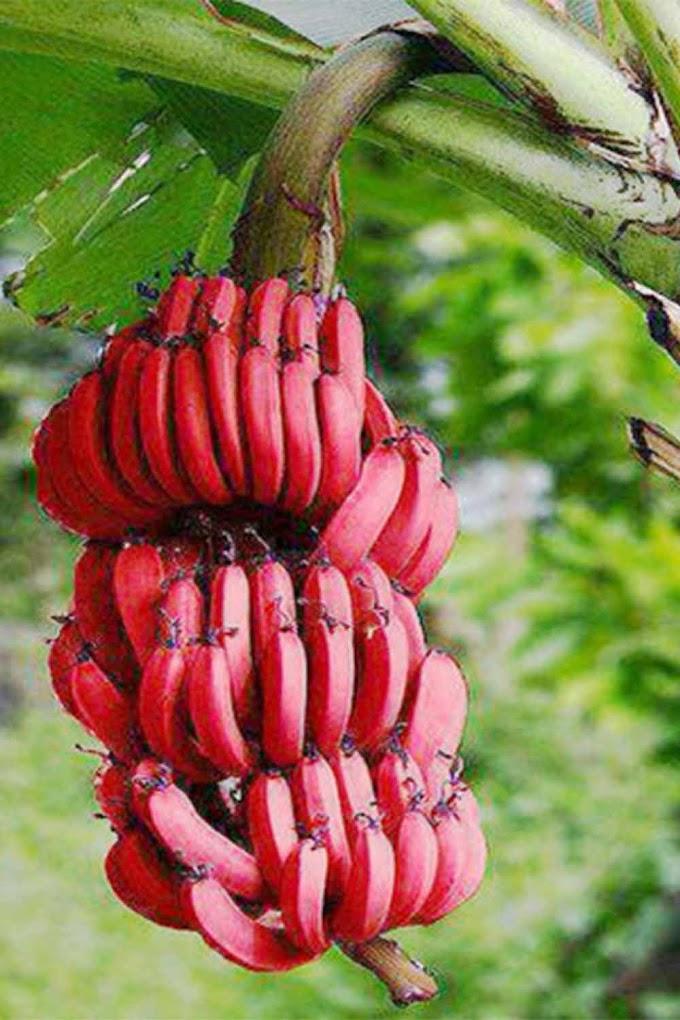 செவ்வாழை பழத்தில் உள்ள மருத்துவ குணங்கள் - Pattivaithiyam