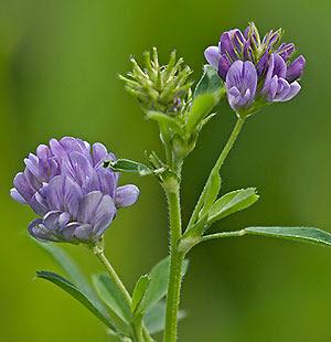 ljekovito-bilje-alfalfa