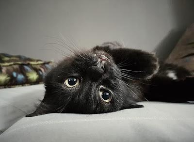 Kucing Hitam Polos