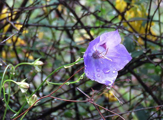 Dzwonek karpacki (Campanula carpatica).