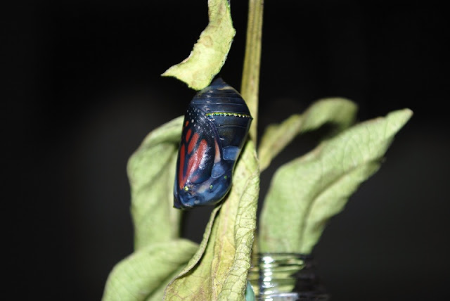 "Monarch butterfly ""hatching"" from its chrysalis."