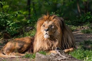 Lion Images