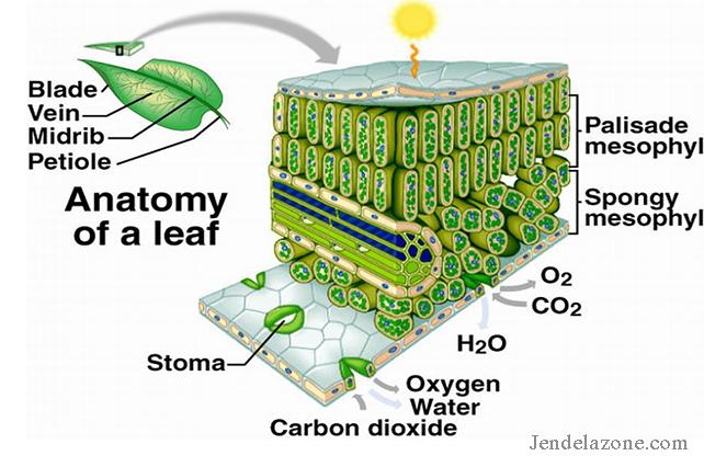 Struktur dan fungsi pada jaringan tumbuhan kingdom plantae struktur dan fungsi pada jaringan tumbuhan kingdom plantae tumbuhan memiliki banyak sekali struktur dan jaringan jaringan penyusunnya ccuart Images