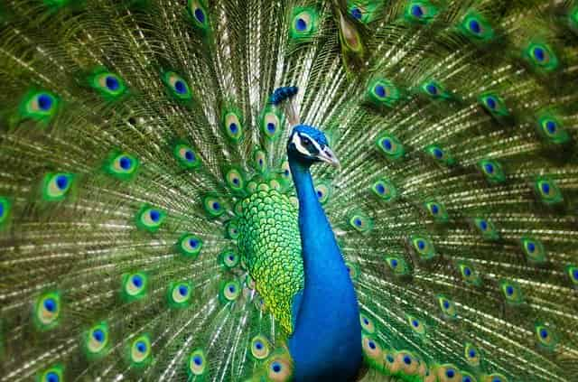Peacock Information In Marathi