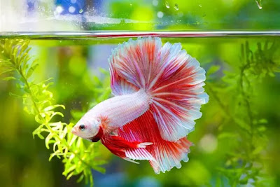 Ikan Cupang Pemakan Jentik Nyamuk