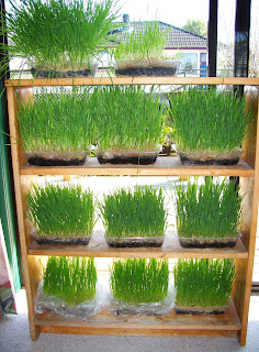 Wheatgrass Home Grown