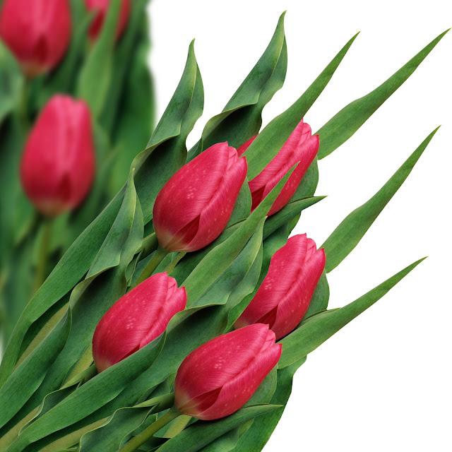 Dark pink tulip-flower image