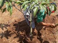 Pohon Mangga Sulit Berbuah! Coba Terapkan 8 Cara Ini Segera