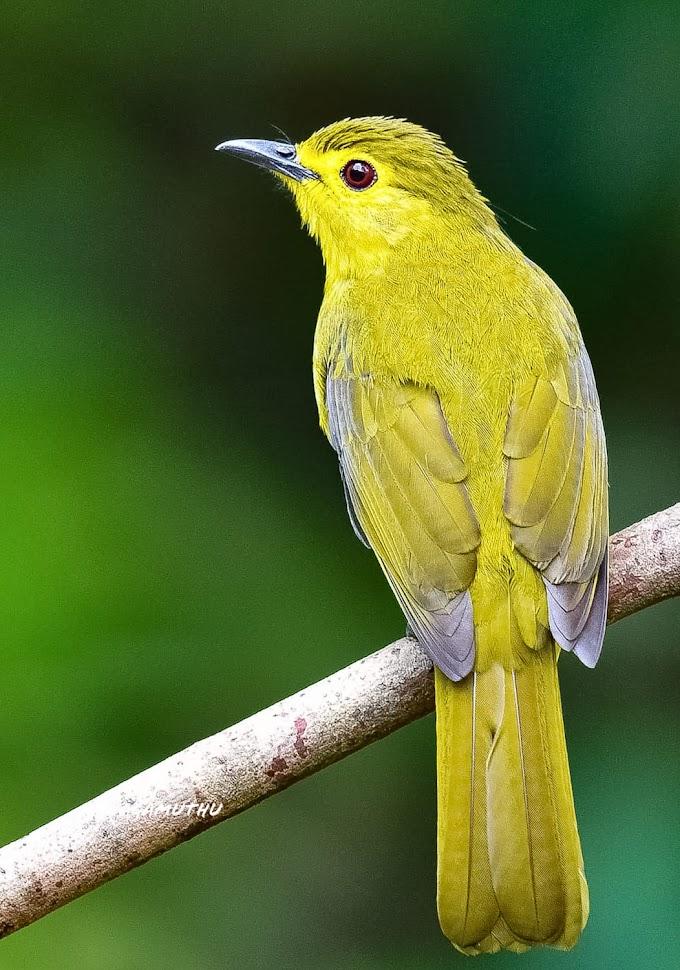Yellow-browed bulbul, Kallar