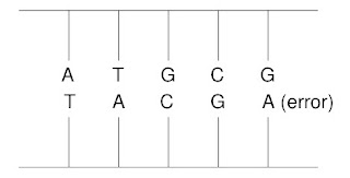 Drawing of a DNA molecule containing an error in the matching of bases.