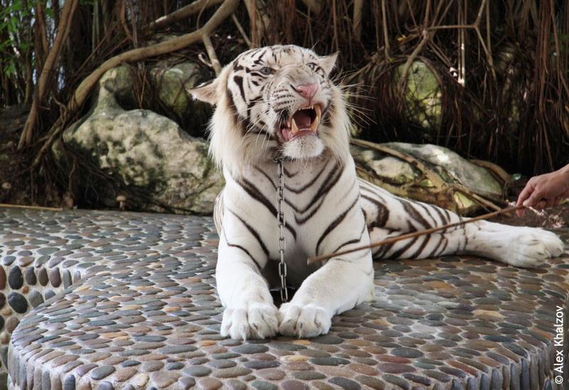 Белый тигр рычит