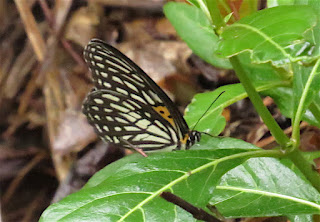 Orinoma damaris, Tiger Brown