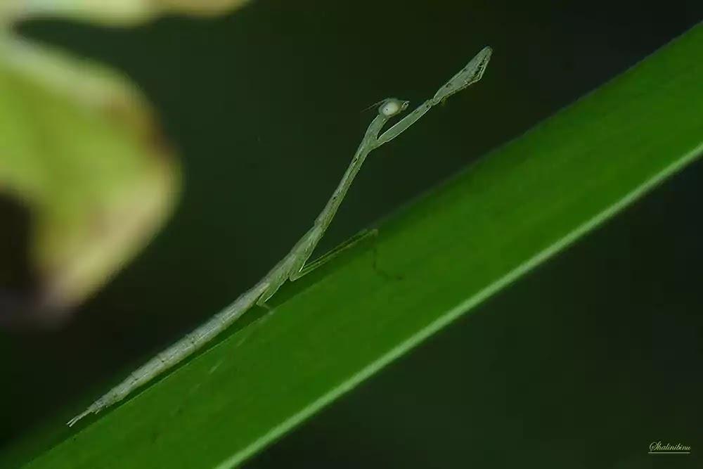 Green mantis nymph