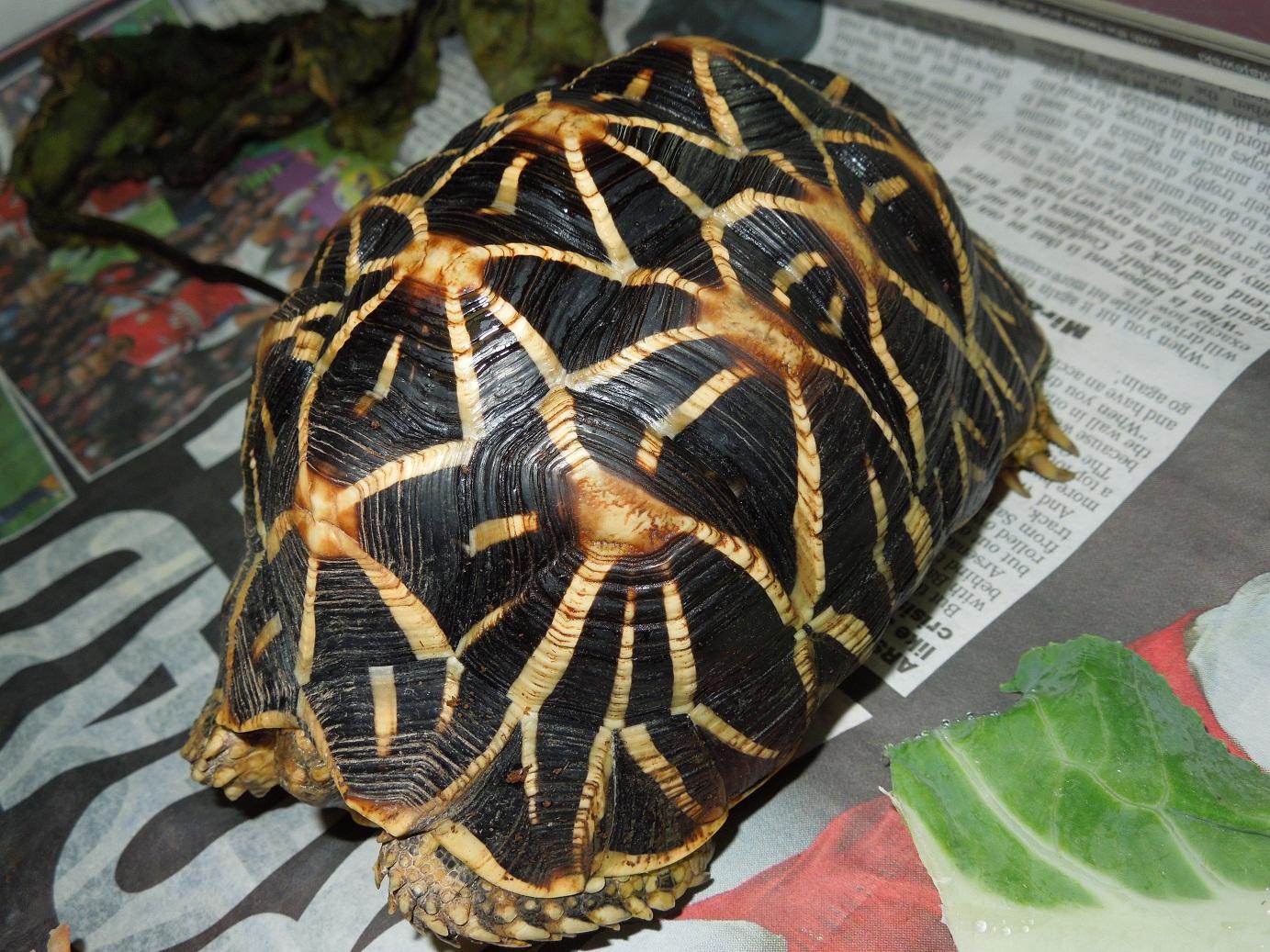 Reptiles Amphibians Amp Fish Indian Star Tortoise