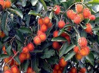 manfaat daun salam,daun pandan,daun binahong,daun seledri,daun pisang,daun kumis kucing,daun sirih,