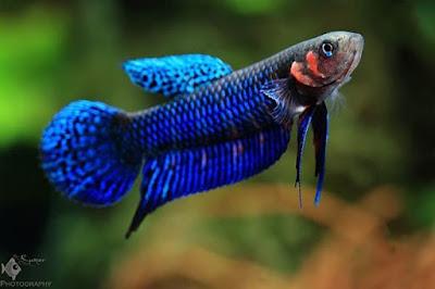 Ikan Cupang Alam Spesies Betta Hendra