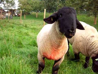 Suffolk Sheep Origin, Facts, Pros and Cons, Size, Weight