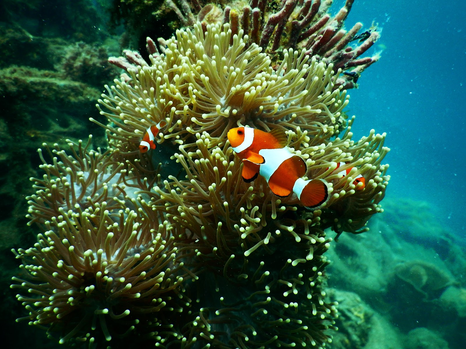 clownfish-underwater-fish-pictures