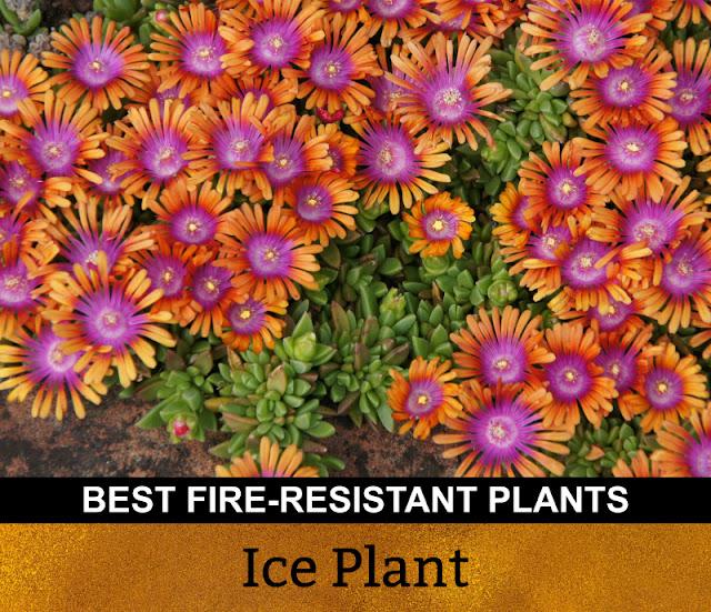 Best Fire Resistant Plants Ice Plant