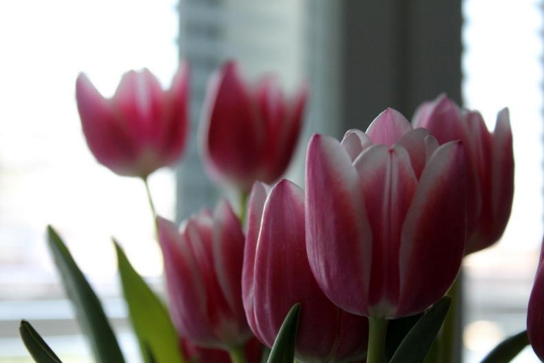 kevätkukka