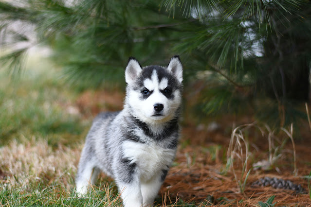 Companion Animal Psychology has moved. Photo of a cute Siberian puppy near some cedars to get your attention.